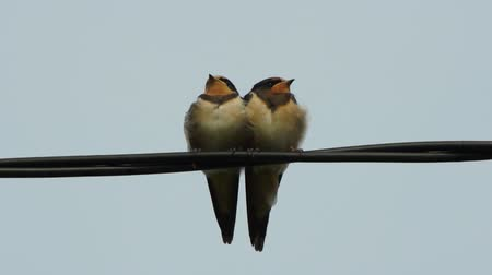 kable : Couple little swallow birds