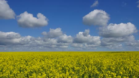 pasture land : Panoramic time-lapse of rape field and moving clouds on blue sky