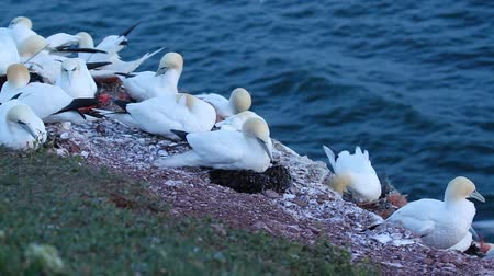moscas : A colony of gannets on Helgoland Stock Footage
