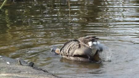 ruficollis : A Red-breasted Goose is washing in a lake