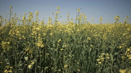 oleaginosa : Camera slide next to yellow canola growing in the field over blue sky