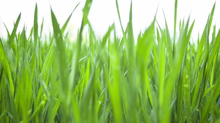 устойчивость : Wheat young green leafs ,agricultural spring field