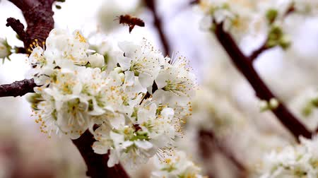 White tree blossoms and working bee