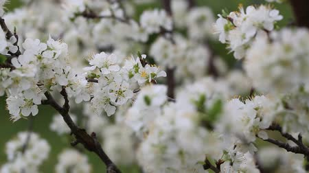 Tree branches full of white blossoms, rack focus