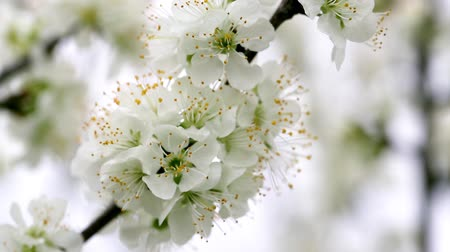 White tree blossoms swaying in the breeze