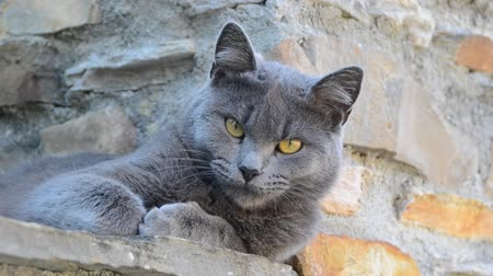 grey cat : Cute gray cat Stock Footage