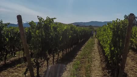 charakteristický : Harvest grape timelapse in Tuscany