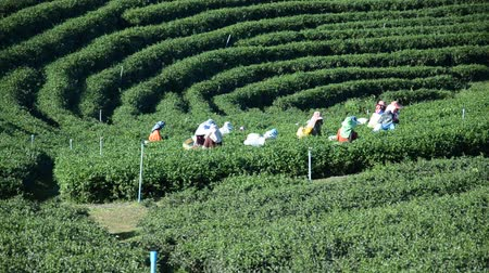 local population : Workers harvesting tea in Chiang Rai Thailand Stock Footage