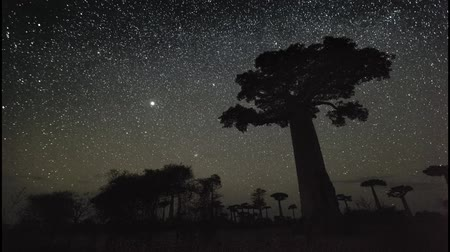 afrika : Starry sky and baobab trees. Madagascar