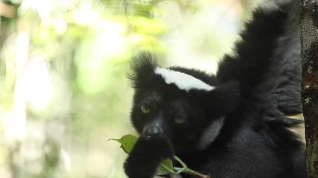 diurnal : Indri lemur eats green leaves being on the tree in the forest