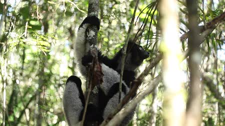 diurnal : Indri lemur relaxing on the tree in the forest