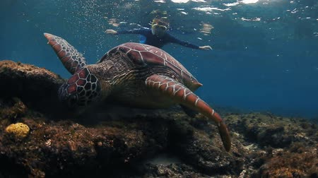 reef life : Turtle grazing on the coral reef with lady snorkeling on the background Stock Footage