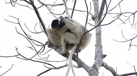 diurnal : Two sifaka lemurs playing on the tree