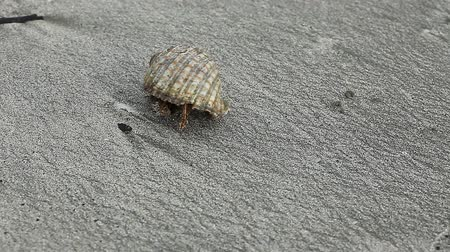 земной : Hermit crab walking on a sand Стоковые видеозаписи