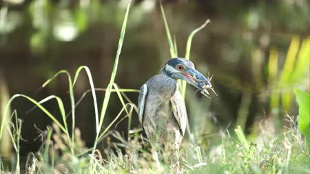 violacea : Yellow crowned night heron (Nyctanassa violacea) eats crab in the wild, with green grass background