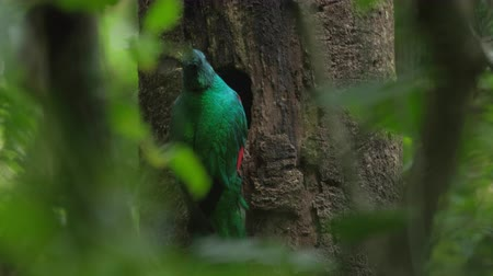 bird list : Resplendent quetzal (Pharomachrus mocinno) male brings food into a nest