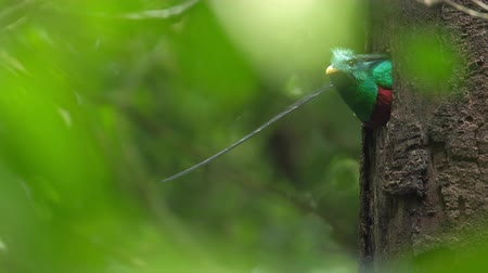 bird list : Male of Resplendent quetzal (Pharomachrus mocinno) sits in the nest in the humid forest of Monteverde National Park. Costa Rica