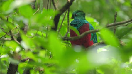 bird list : Male of Resplendent quetzal (Pharomachrus mocinno) in the humid forest of Monteverde National Park. Costa Rica Stock Footage
