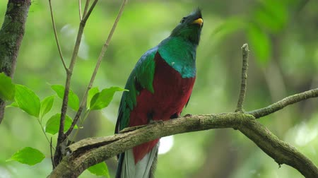 bird list : Male of Resplendent quetzal (Pharomachrus mocinno) sits on the branch in the humid forest of Monteverde National Park. Costa Rica