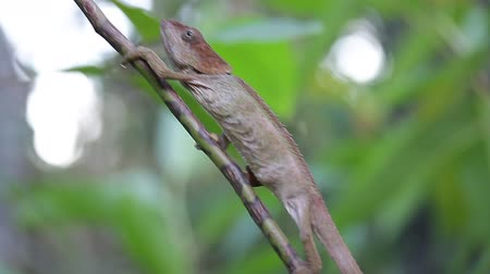 Chameleon (family Chamaeleonidae) climbs thin tree branch in the forest. Shaky camera