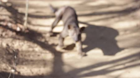 Fossa (Cryptoprocta ferox) atacks tourist on the path (shaky camera with sound). Madagascar. Wideo