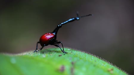 Giraffe weevil (Trachelophorus giraffa) on the leaf. Endemic bug of Madagascar