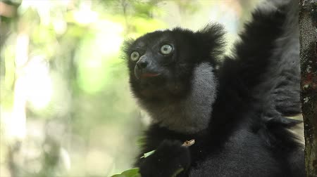Indri lemur of Babakoto (Indri indi) eats leaves, Madagascar. With sound Wideo