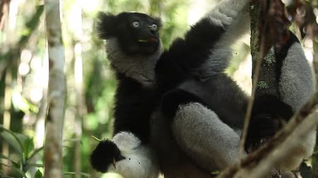 Indri lemur or Babakoto (Indri indri) eats leaves in the forest. With sound Wideo