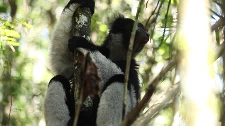 Indri lemur or Babakoto (Indri indri) sits on the tree in the forest. With sound Wideo