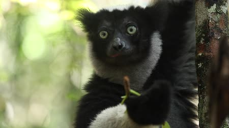Loopable and seamless (only paw jerks and flicks a bit) footage of the Indri lemur (Indri indi) eating leaf, Madagascar.