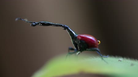 Macro shot of the Giraffe weevil (Trachelophorus giraffa) on the leaf. Endemic bug of Madagascar