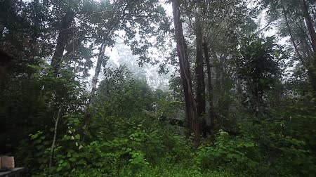 Morning forest with fog and loud songs of Indri (Indri indi) lemurs, Madagascar