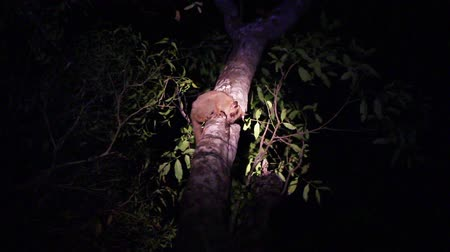 Sportive lemur (Lepilemur mustelinus) feeds on the tree at night. Madagascar