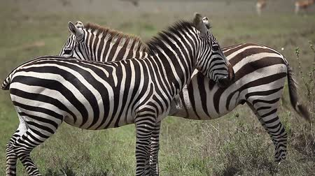 Two zebras stand in savanna Wideo