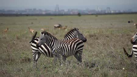 Zebras stand in savanna. Nairobi Wideo