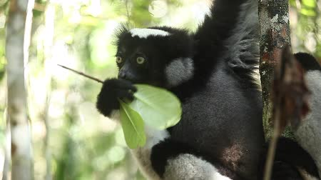 Indri lemur (Indri indri) eats leaf in the forest Wideo