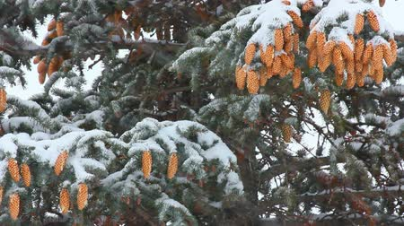 vacations cones : snow-covered fir with cones and snow Stock Footage