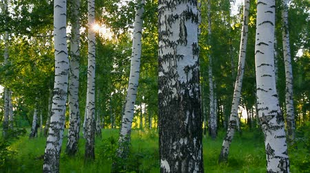 береза : summer birch woods in Russia