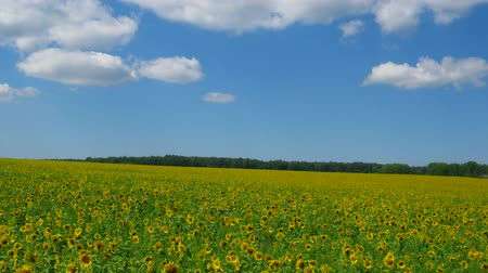 girassóis : sunflowers field under blue sky with clouds