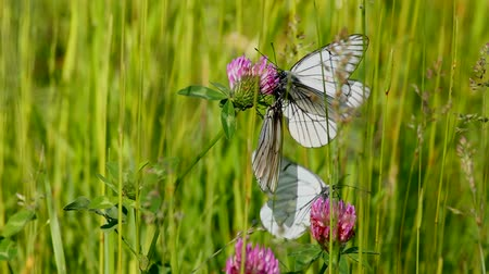 yonca : white butterfly on clover flowers  - aporia crataegi Stok Video
