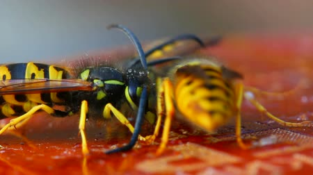 membranous : macro view on wasp eating honey Stock Footage