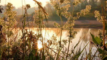 grass on riverside at dawn Stock Footage