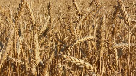 pszenica : yellow field with ripe wheat close-up