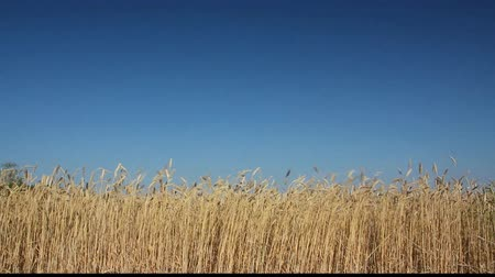 pszenica : yellow field with ripe wheat under blue sky