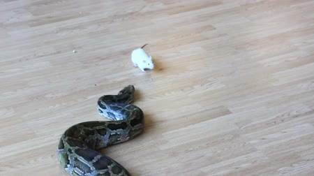 yılan : feeding snake - python eating rat Stok Video