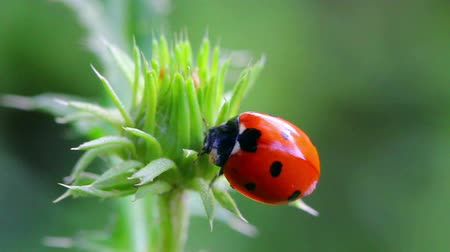 ladybug on green grass macro