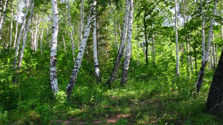 береза : camping tent in summer birch forest