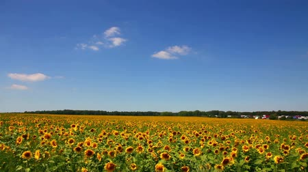 pan : sunflowers field under blue sky with clouds