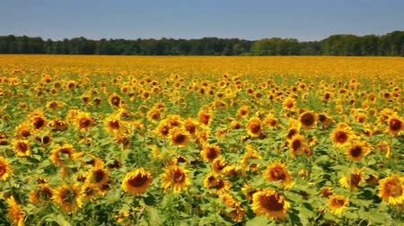 blue and yellow : sunflowers field under blue sky with clouds