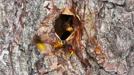 membranous : hornets nest in tree hollow